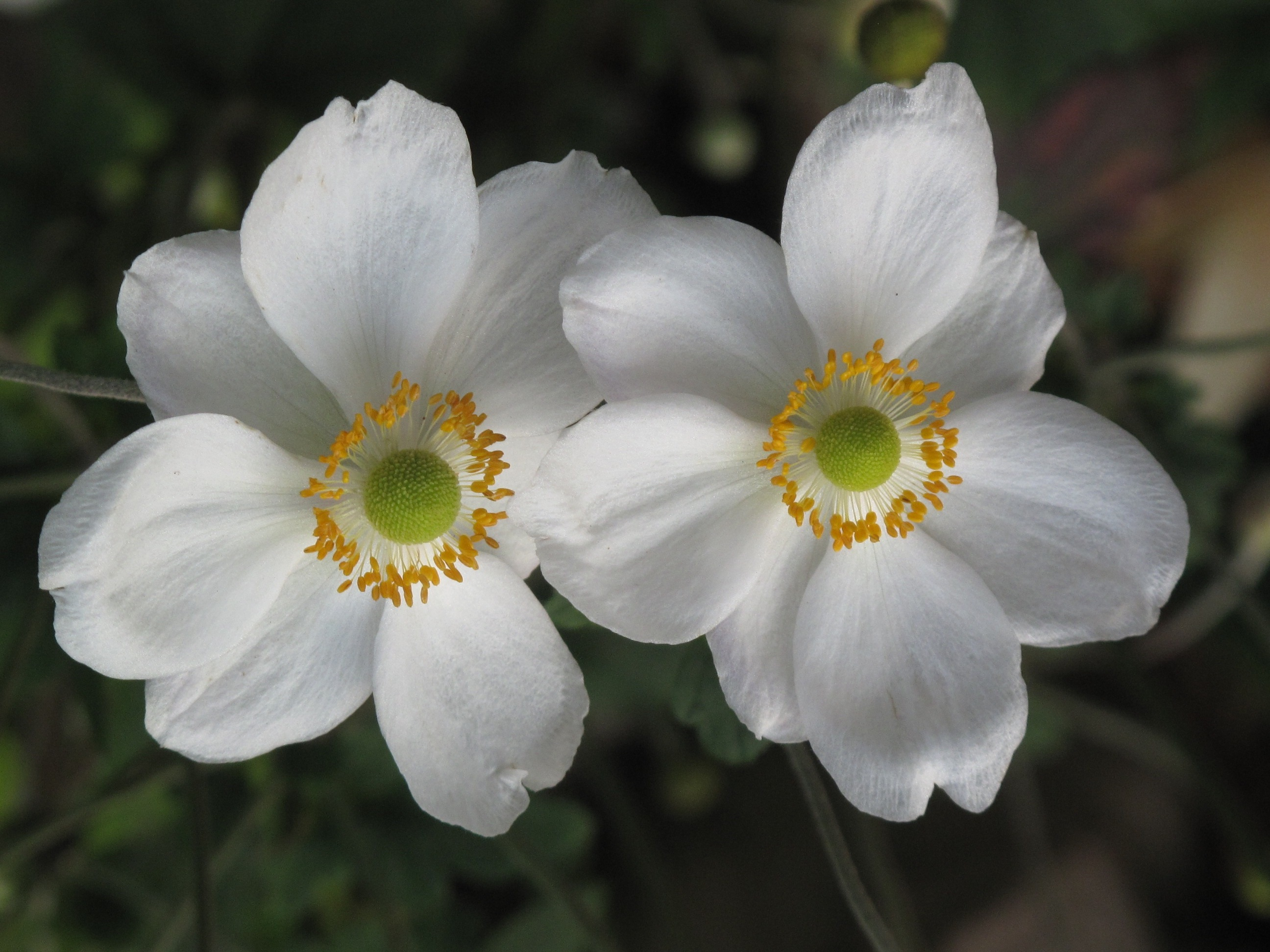 Anemone X hybrida 16