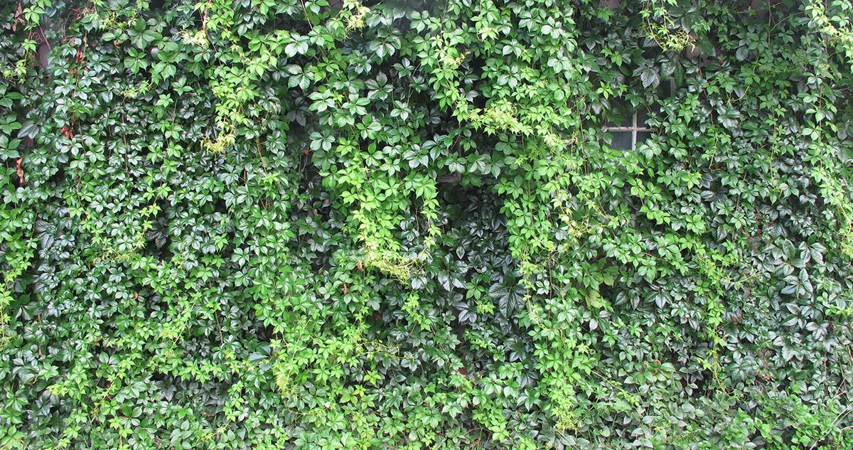 Parthenocissus quinquefolia 73