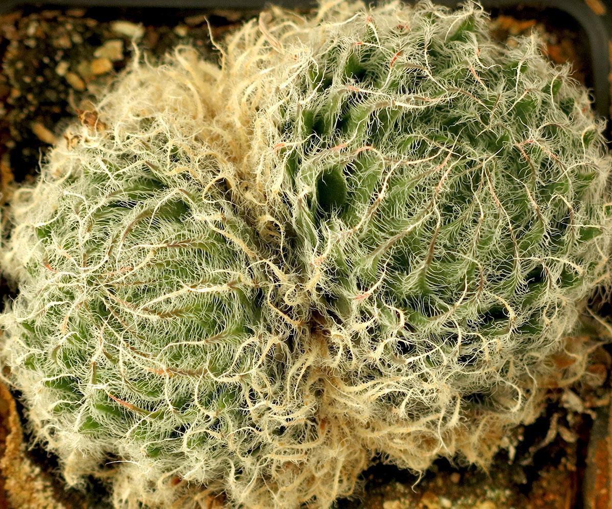 Haworthia belussi belussi 2
