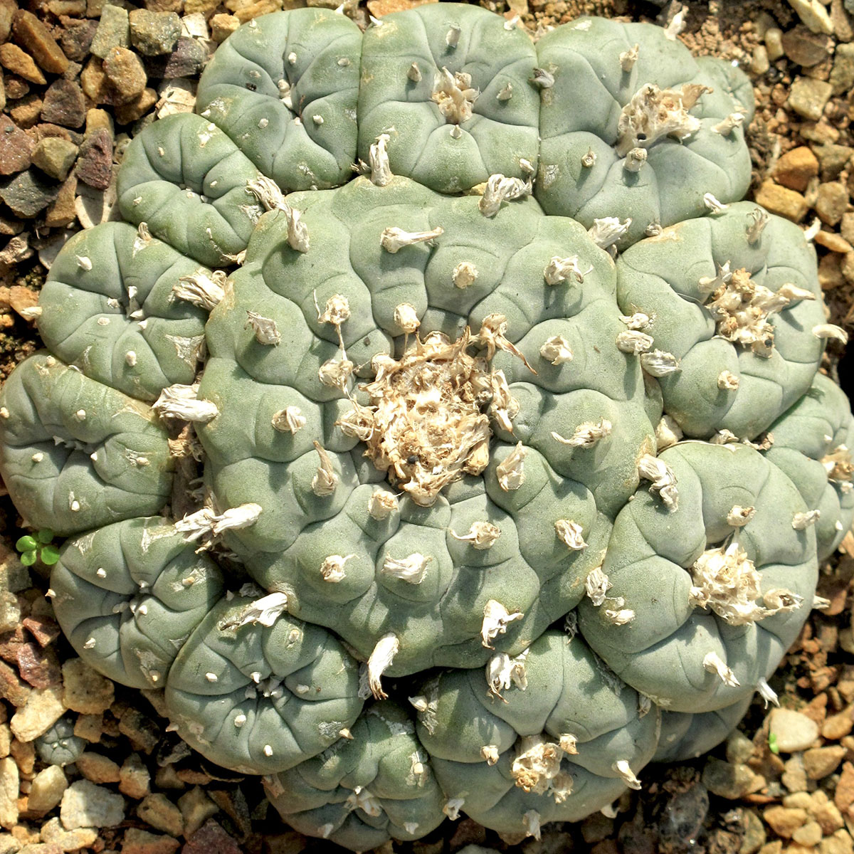 Lophophora williamsii 11