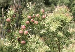 Leucadendron salicifolium 4