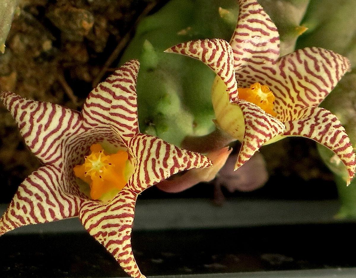 Piaranthus punctatus punctatus 2