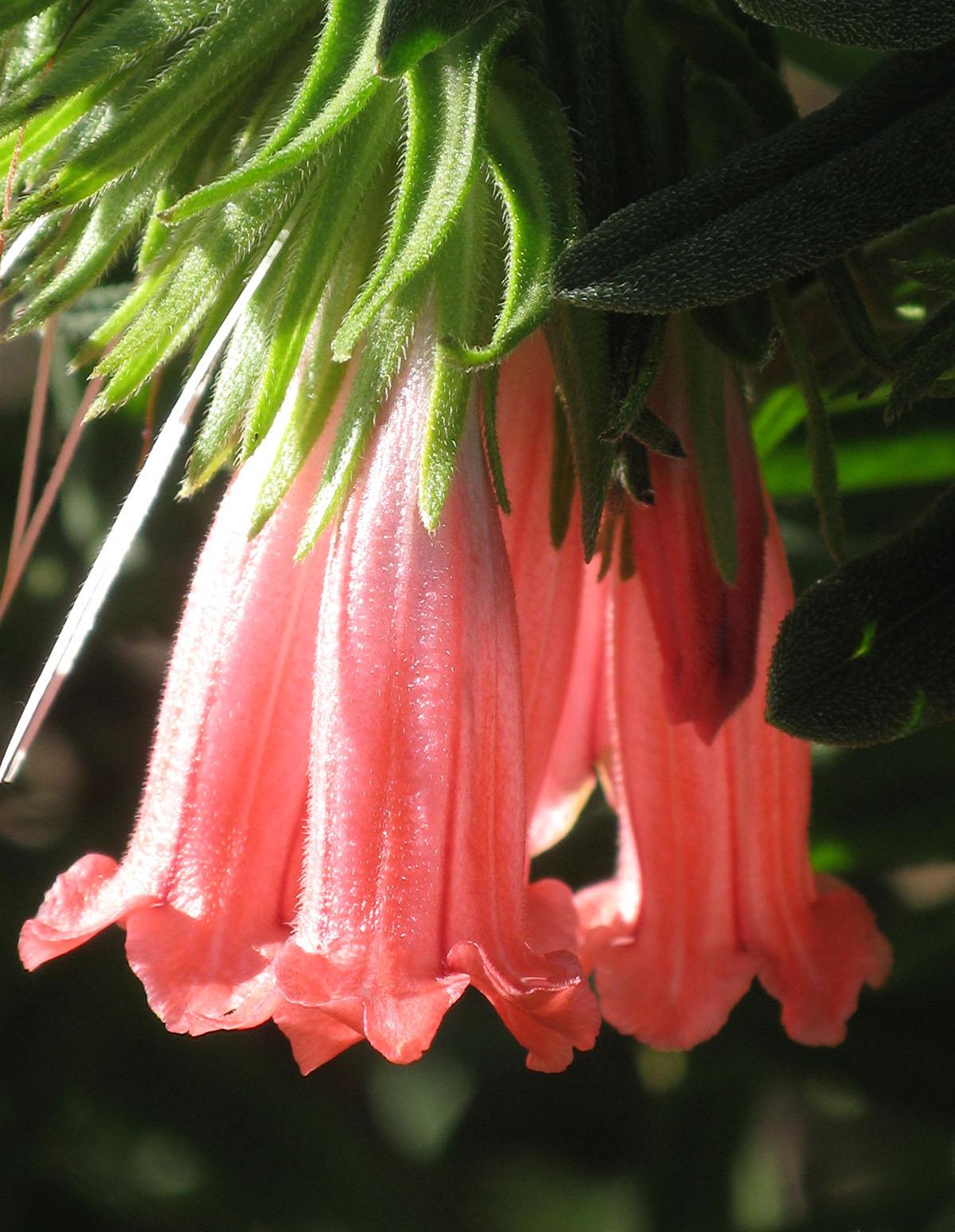 Lobostemon belliformis 9