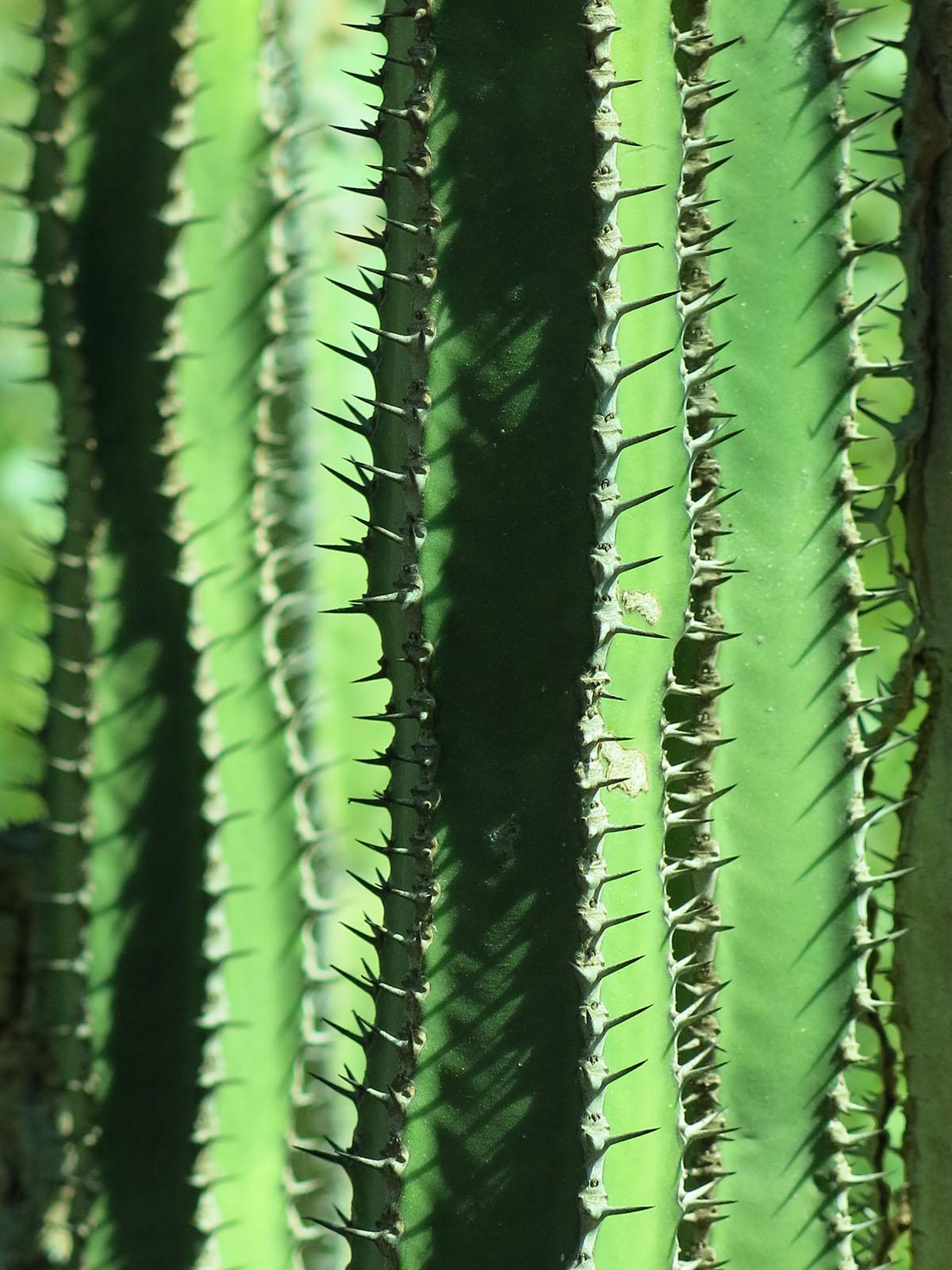 Euphorbia hottentota 6