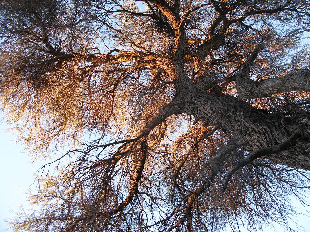 Acacia-erioloba-33.1-