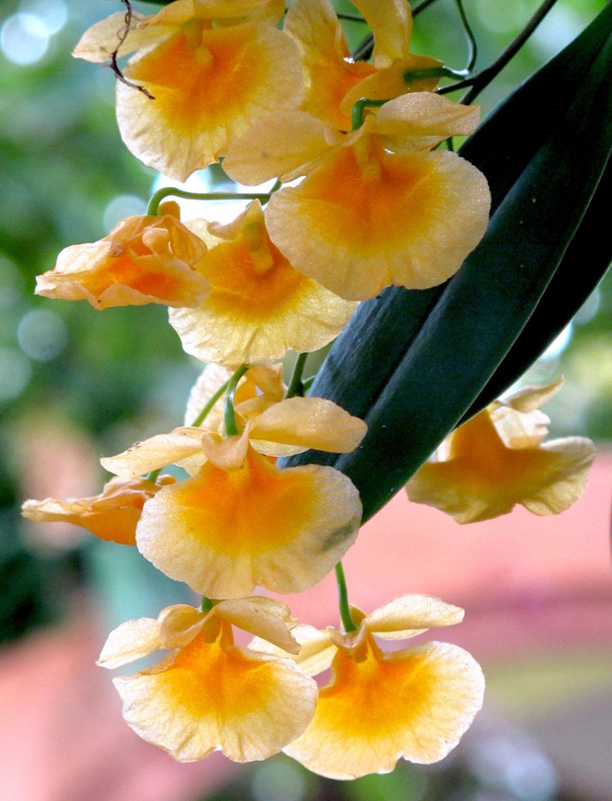 Dendrobium lindleyi 4