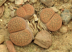 Lithops fulviceps fulviceps 9