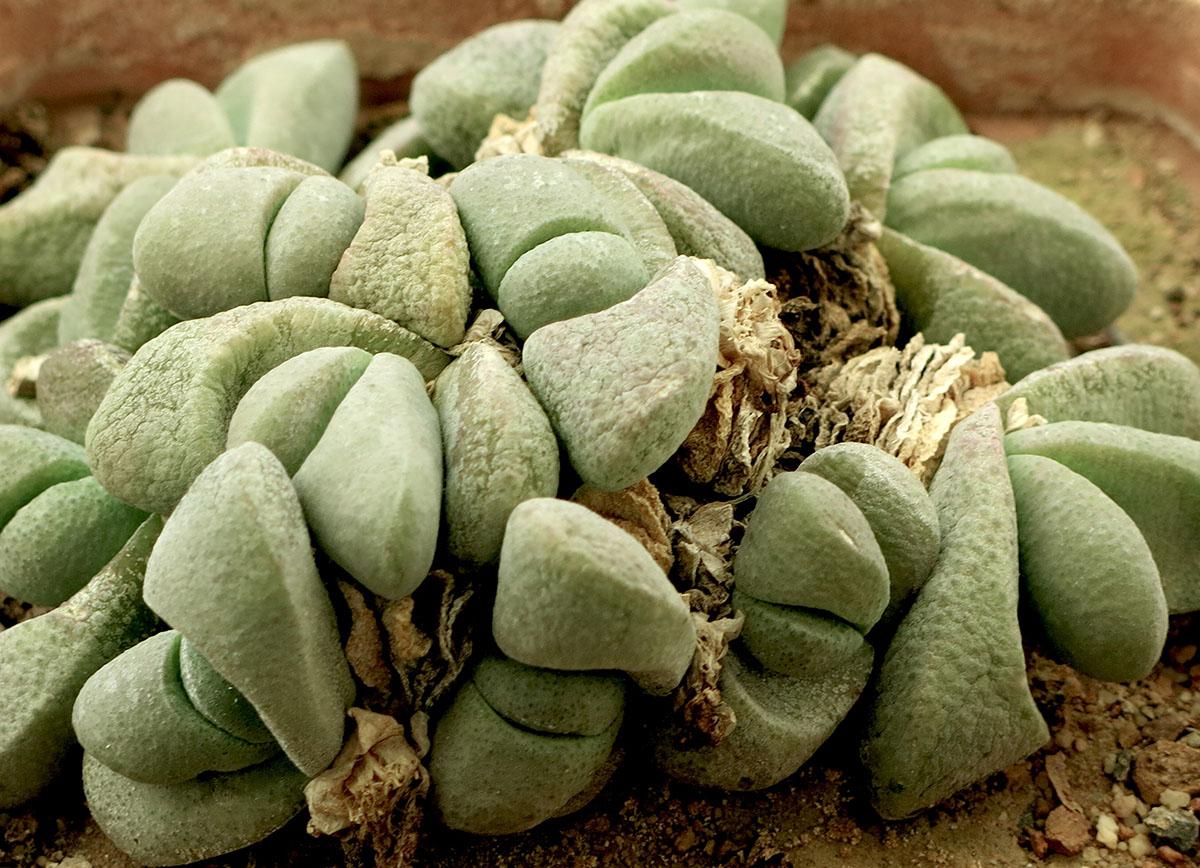 Glottiphyllum oligocarpum 3