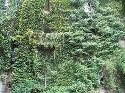 Parthenocissus tricuspidata a