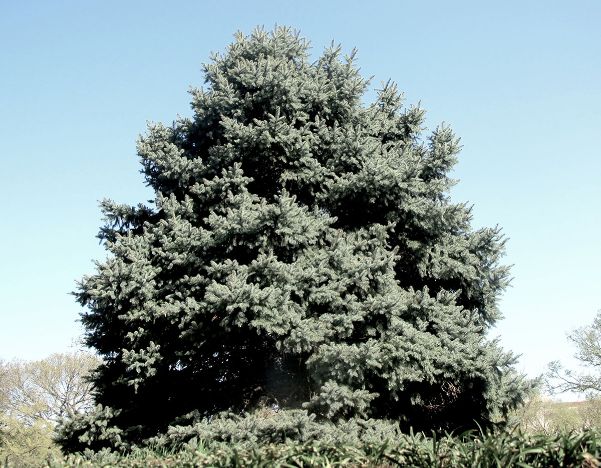 Picea pungens glauca 16