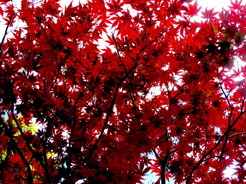 Acer-palmatum-Red-25-