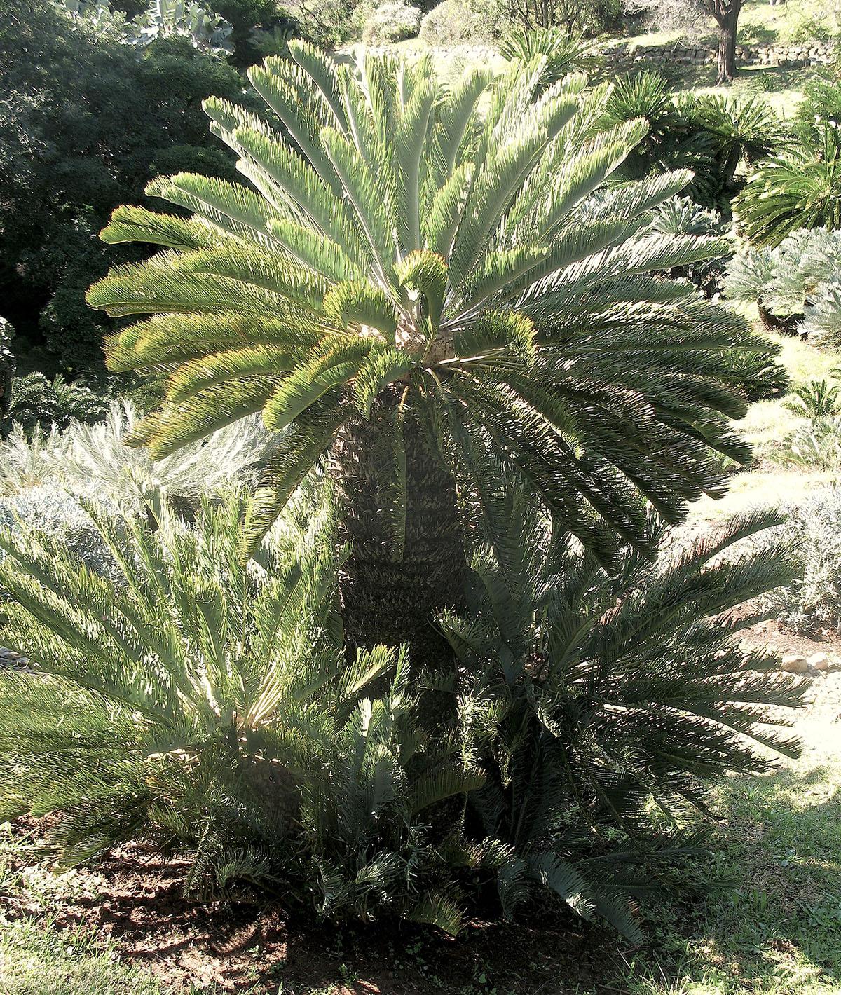 Encephalartos friderici-guilielmi 38