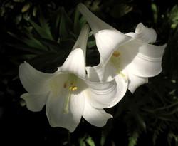 Lilium formosanum 5