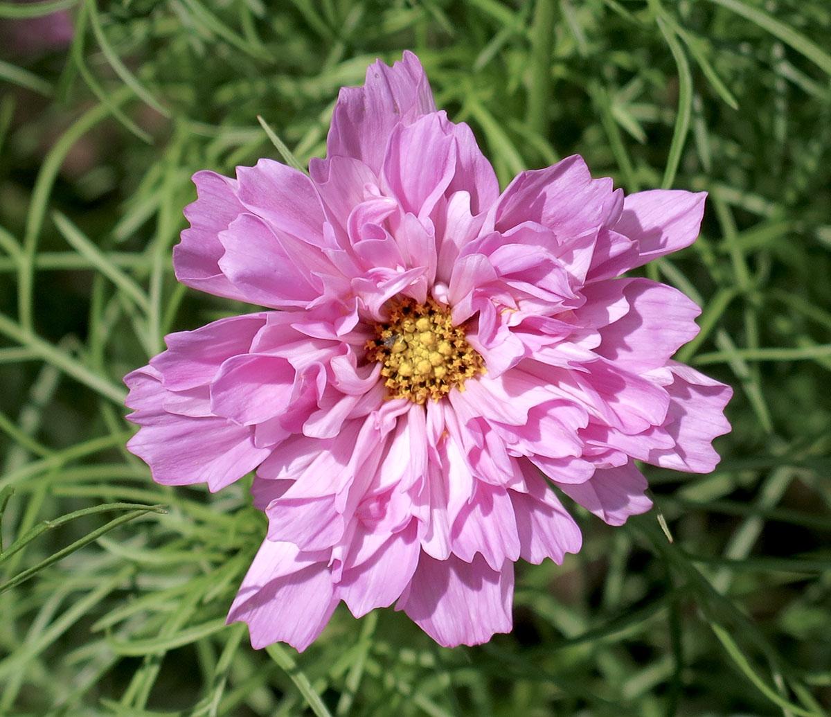 Cosmos bipinnatus Rose Bon Bon 1
