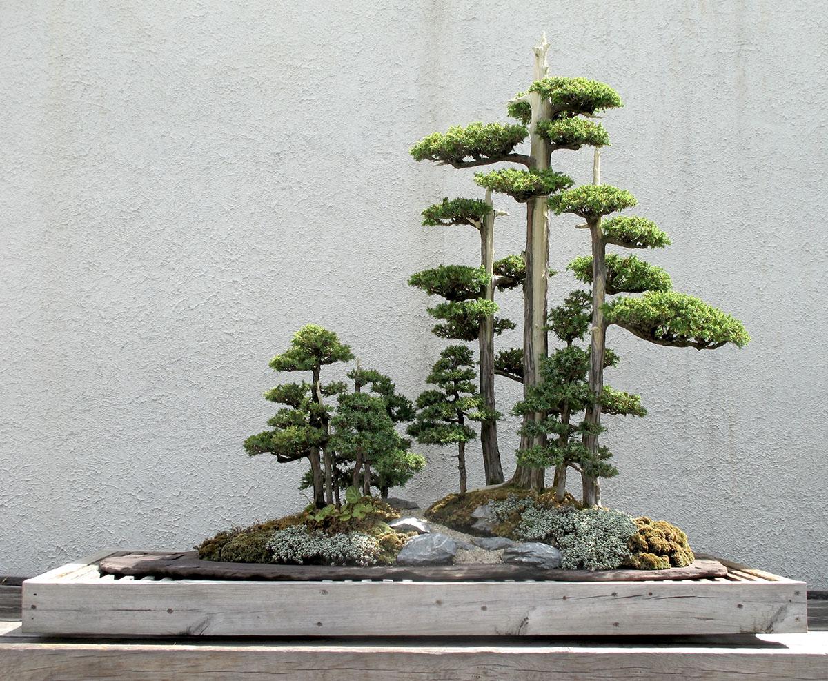 Juniperus chinensis Foemina 10
