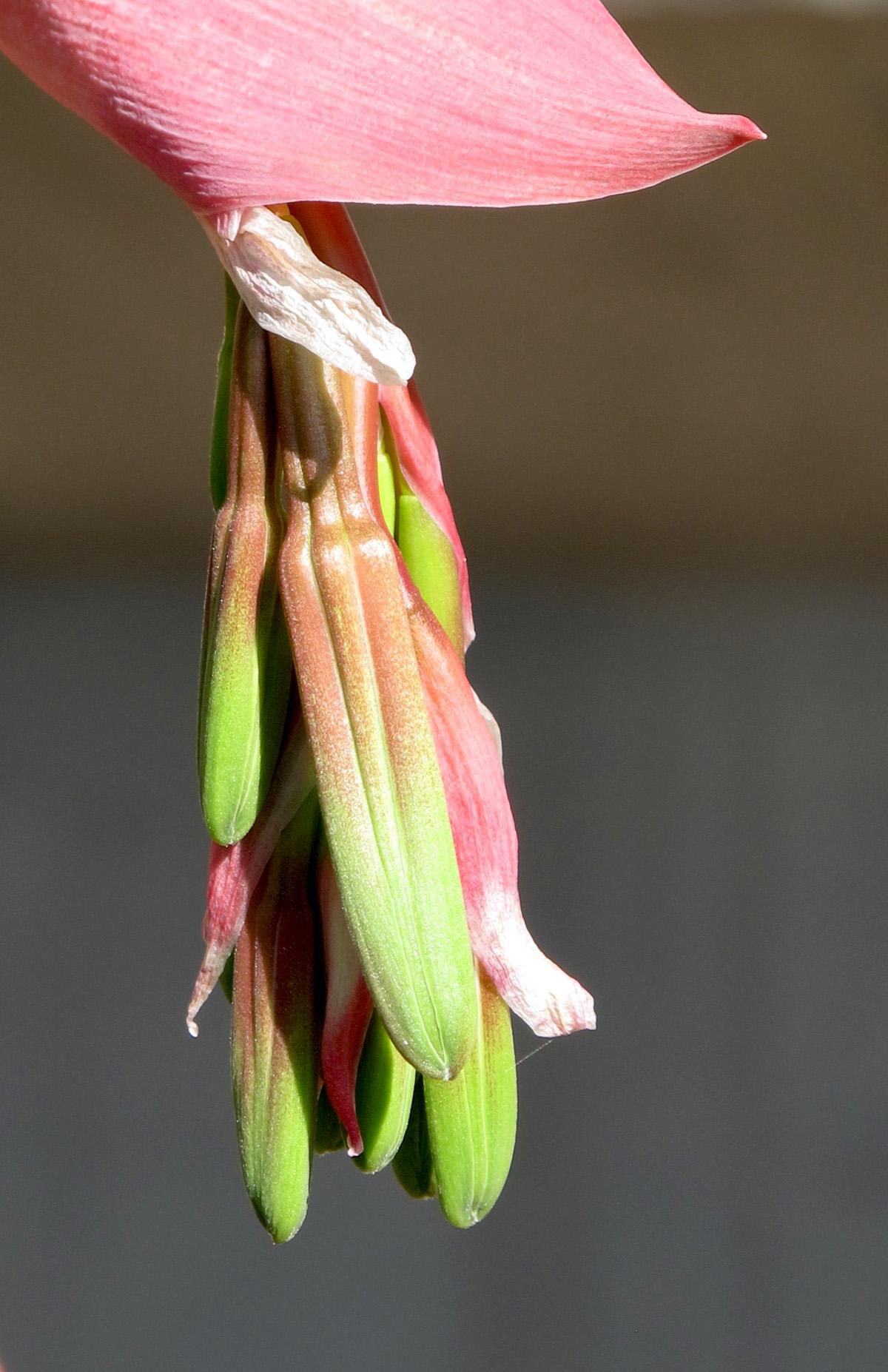 Beschorneria yuccoides 5