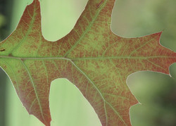 Quercus palustris 82
