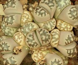 Lithops dorotheae 5
