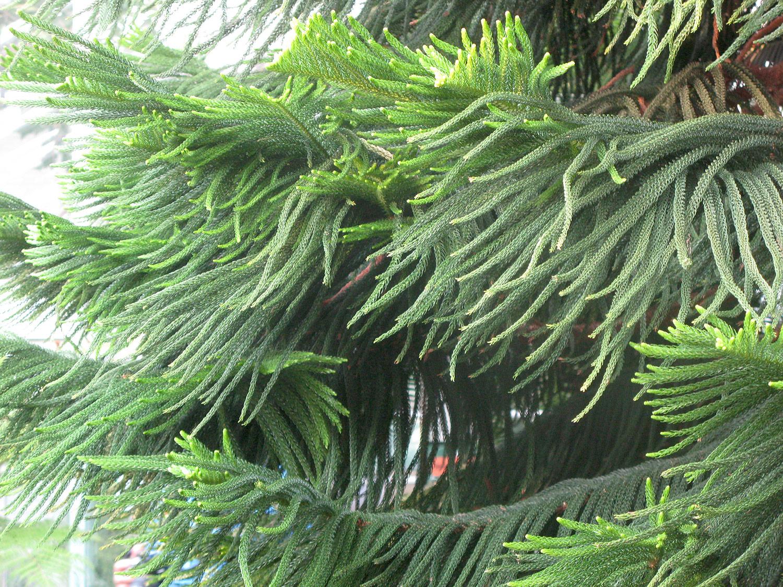Araucaria-heterophylla-3-