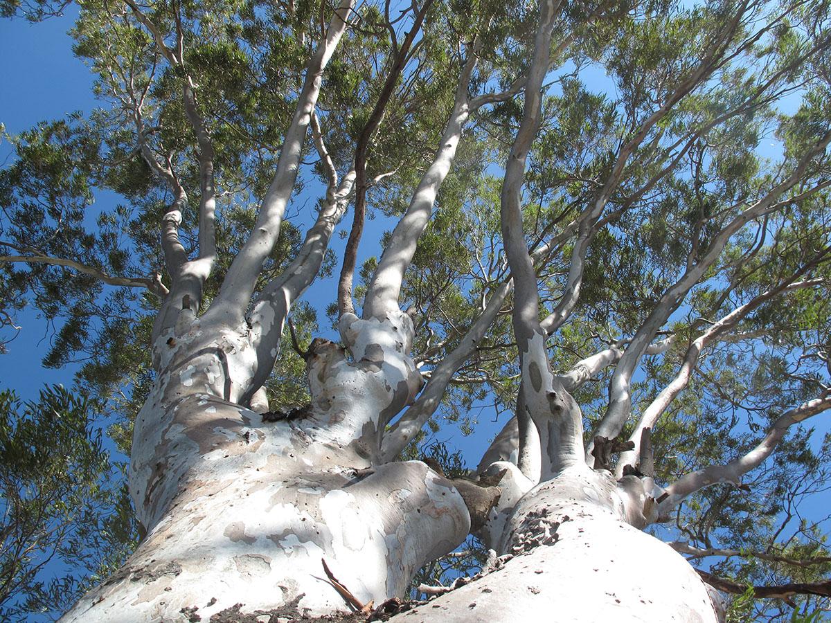 Eucalyptus camaldulensis 56