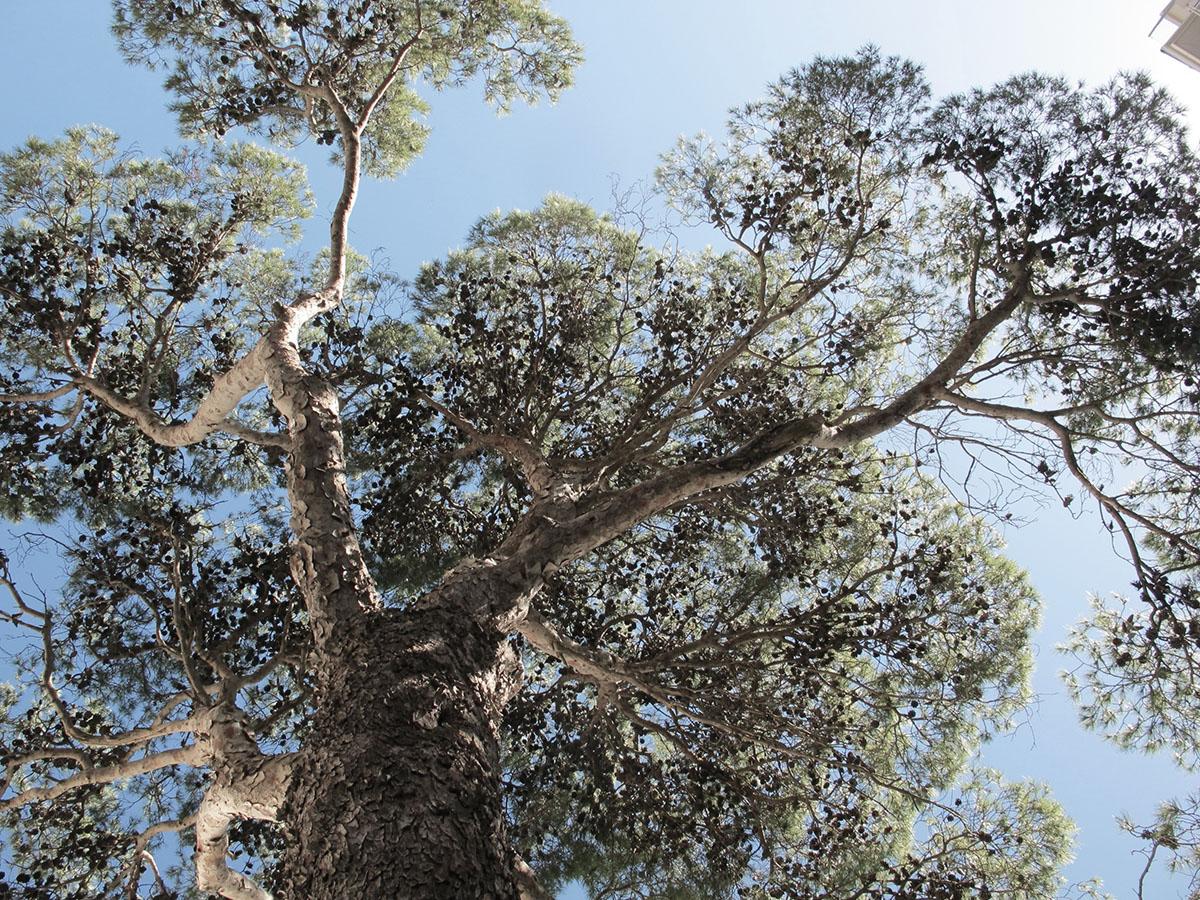 Pinus pinea 60