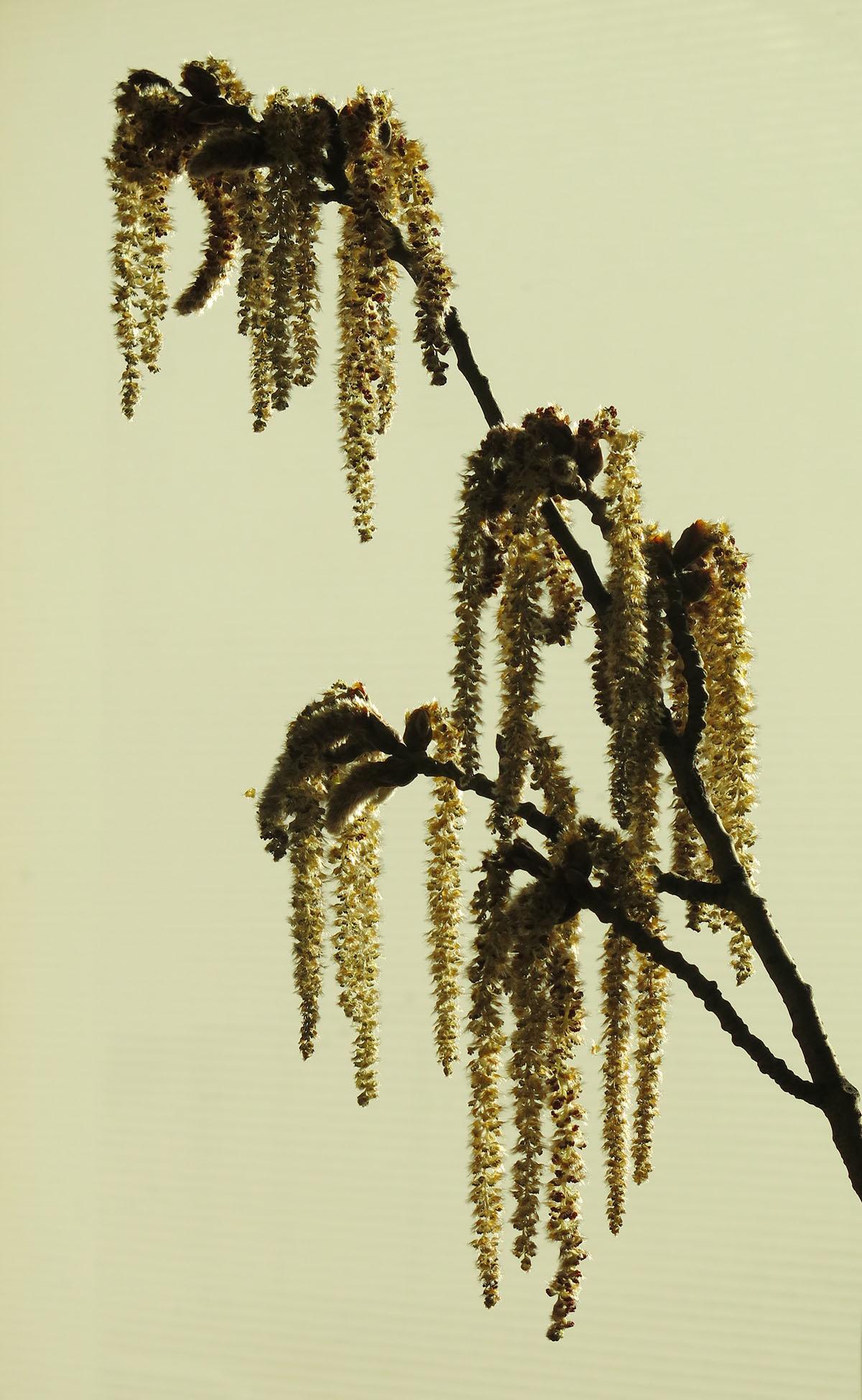 Populus canescens 78