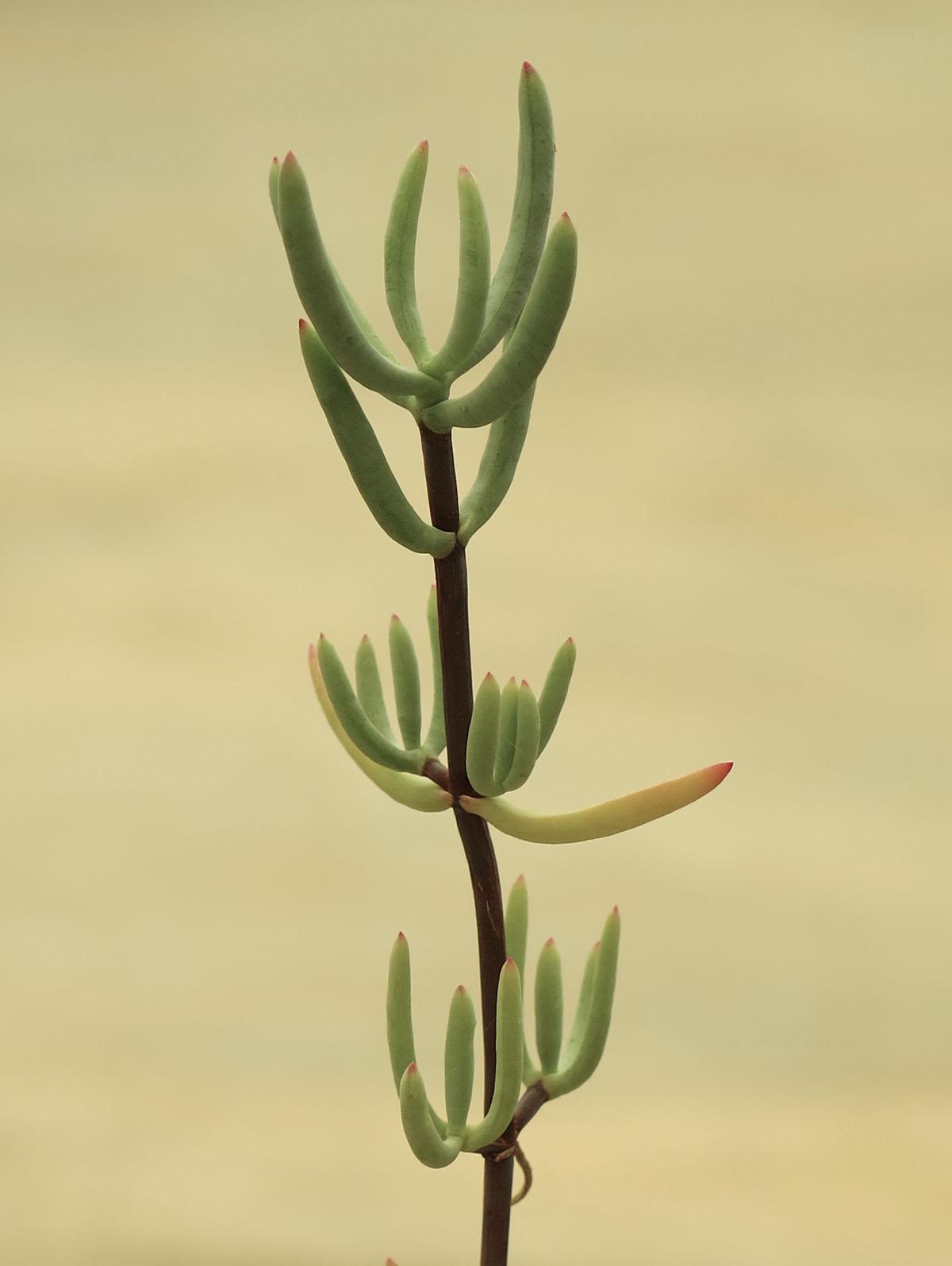 Lampranthus stipulaceus 4