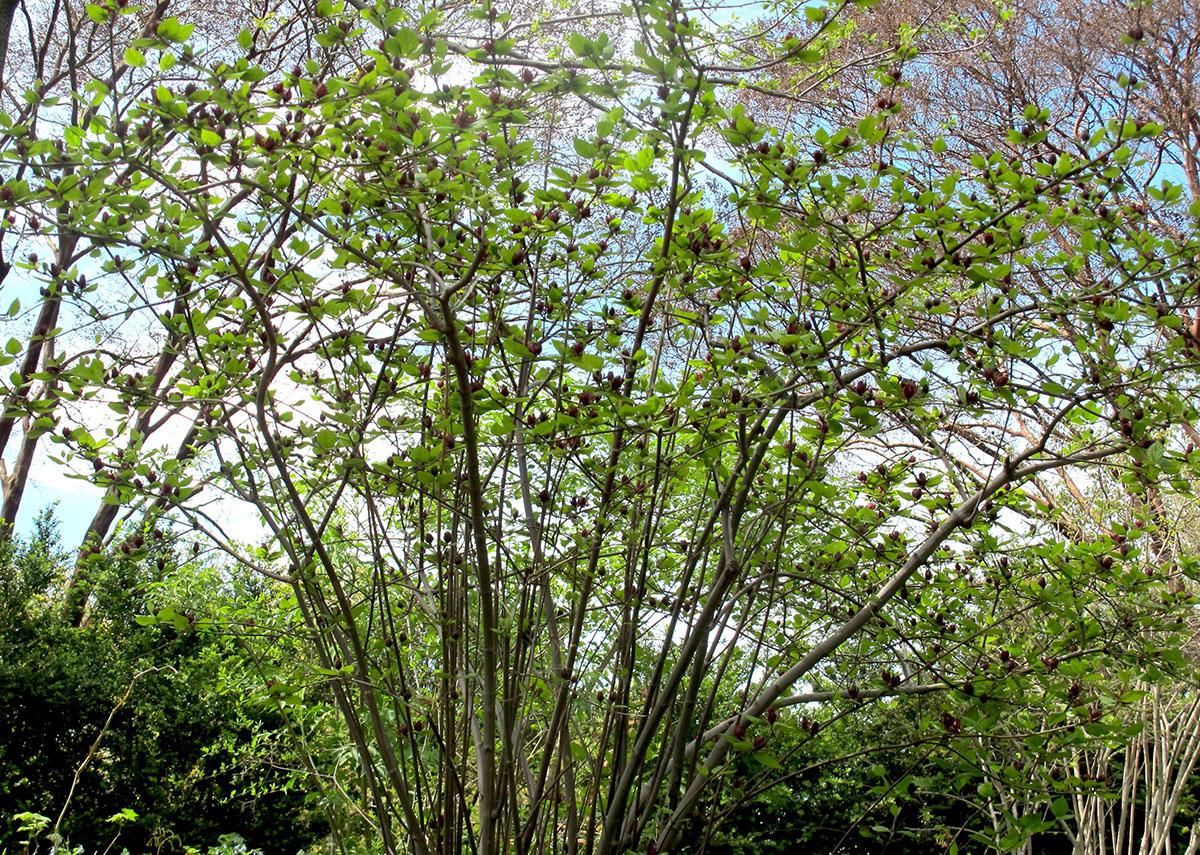 Calycanthus floridus Edith Wilder 12