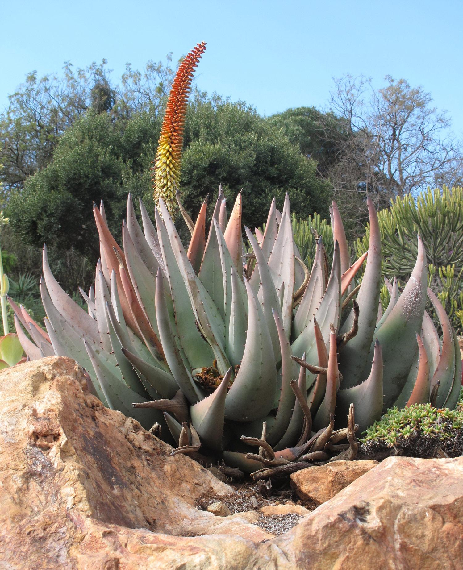 Aloe-pertricola-37-