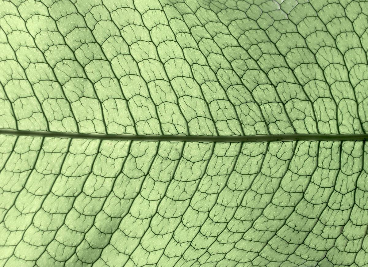 Microsorum diversifolium 5