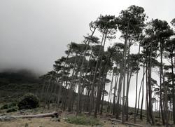 Pinus pinea 17