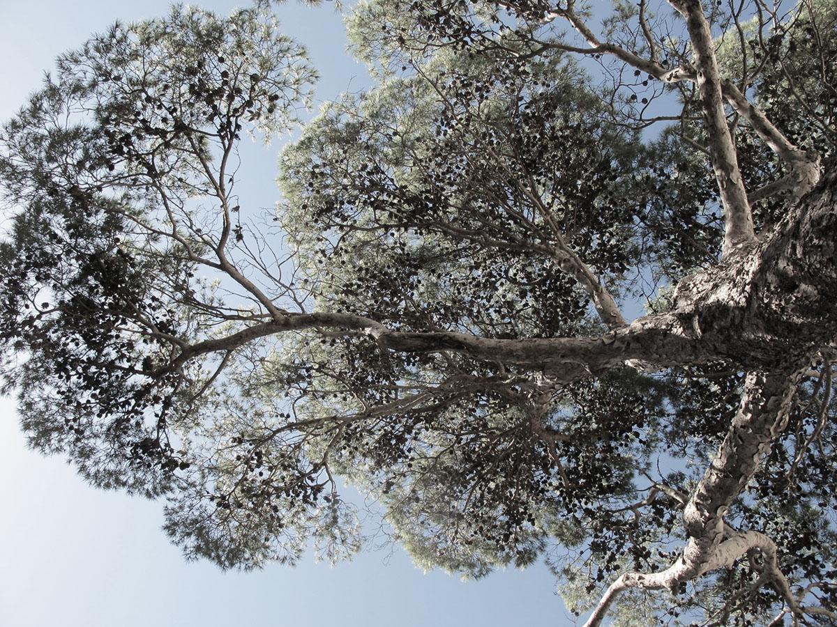 Pinus pinea 61