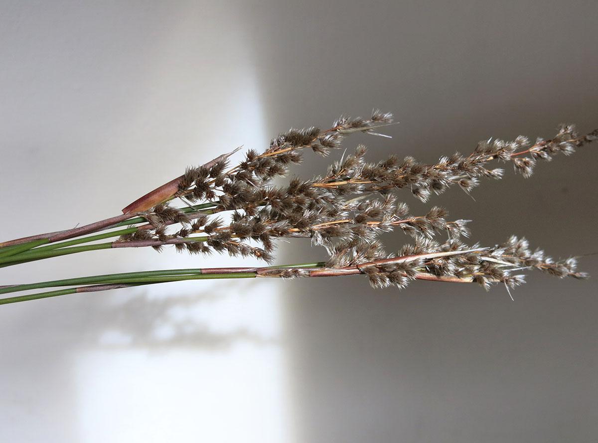 Hypodiscus argenteus 14 (male)