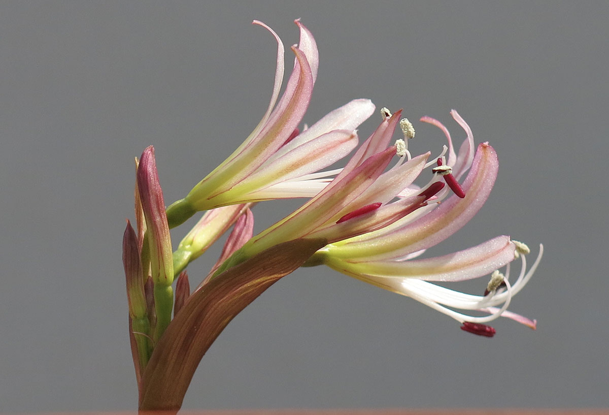 Brunsvigia comptonii 34