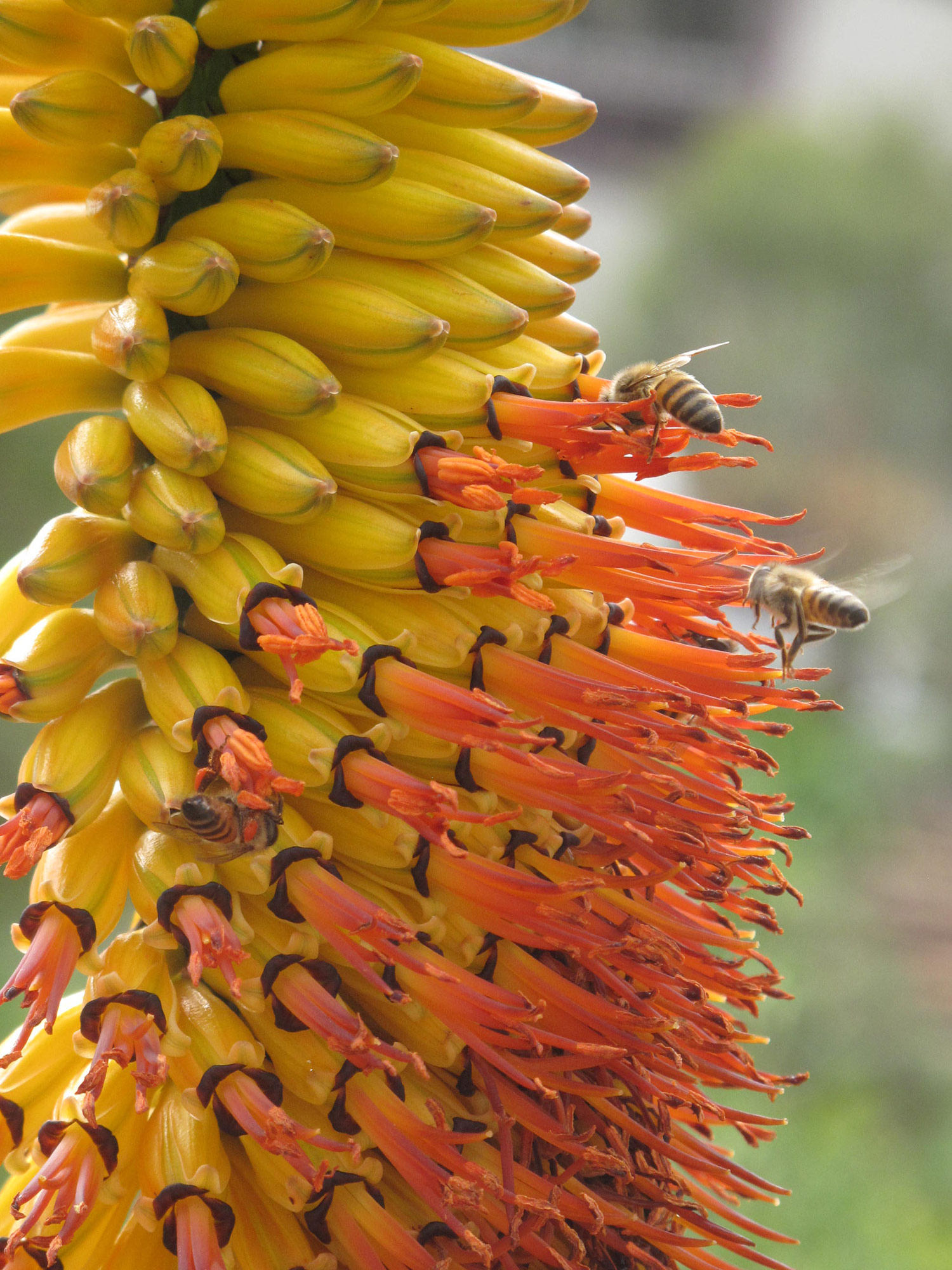 Aloe-marlothii-42-