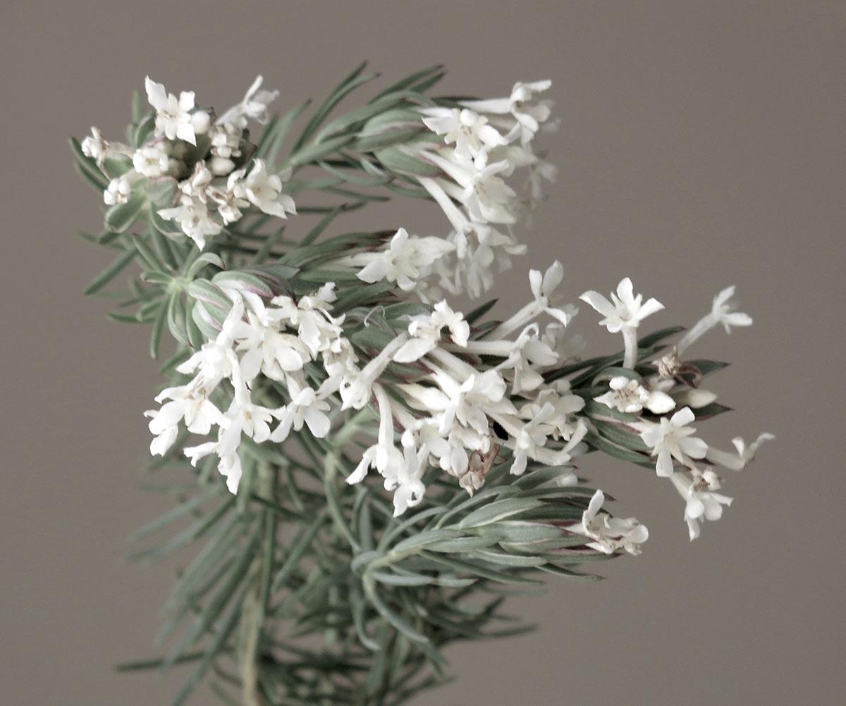 Gnidia pinifolia 23