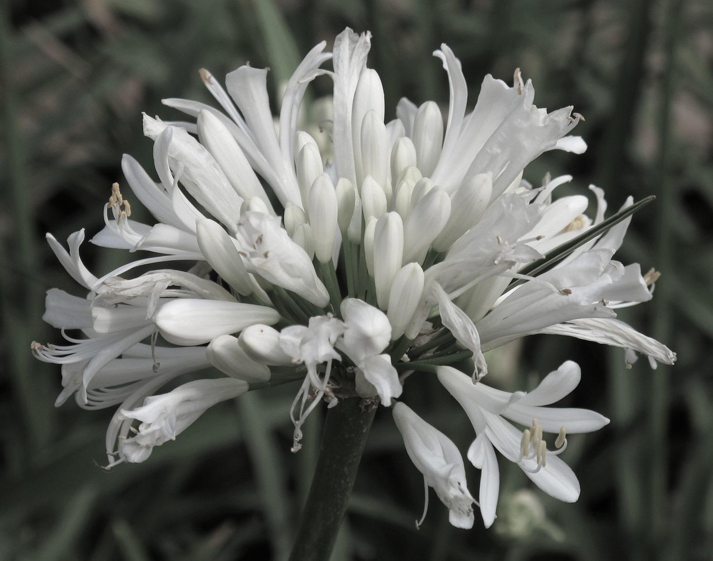 Agapanthus-africanus-54-