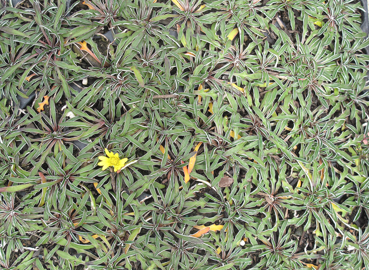 Dymondia margaretae 4