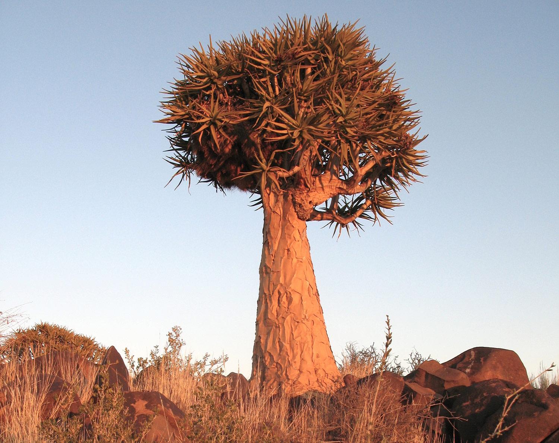 Aloe-dichotoma-90-
