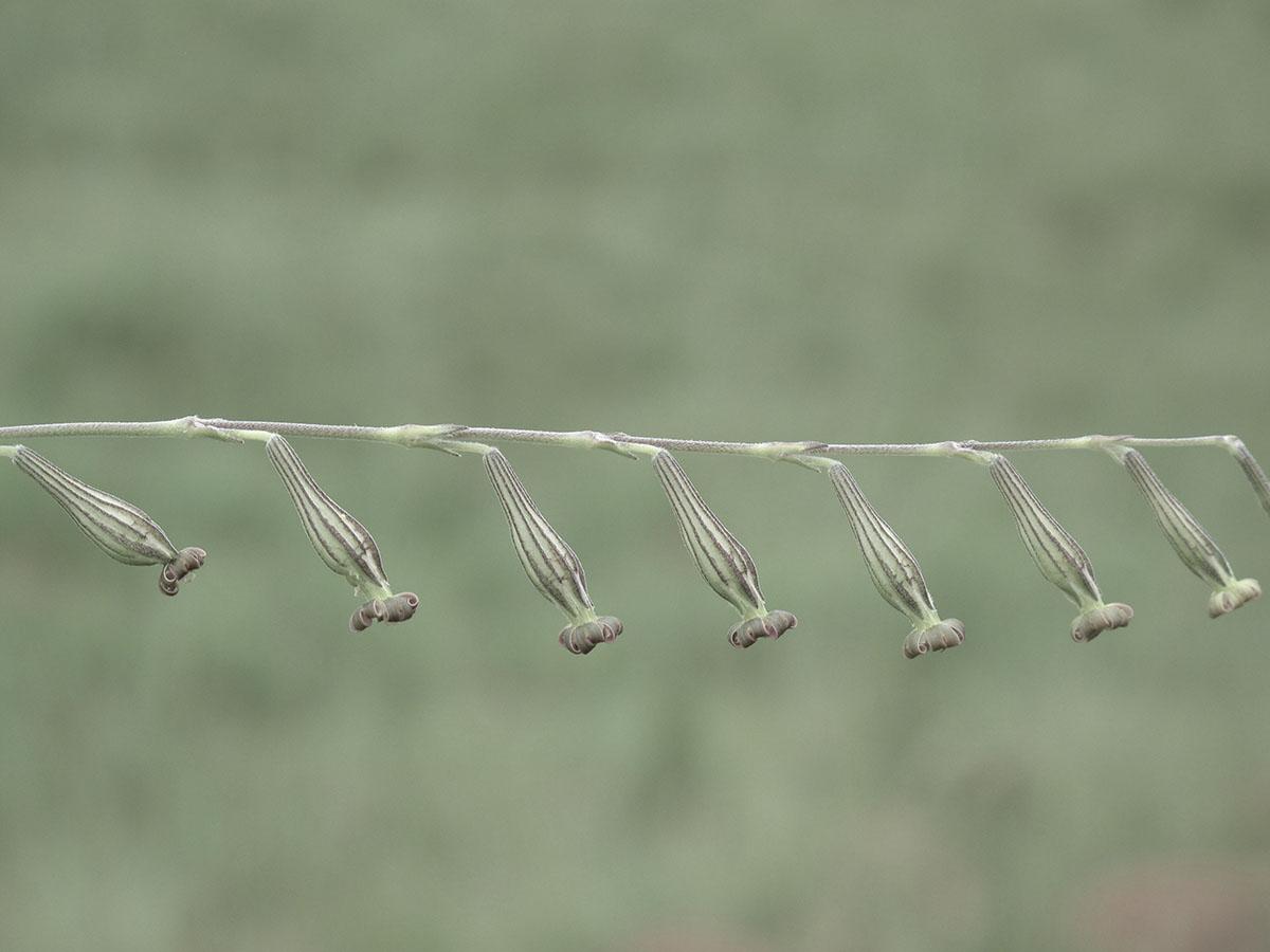 Silene burchellii burchellii 7