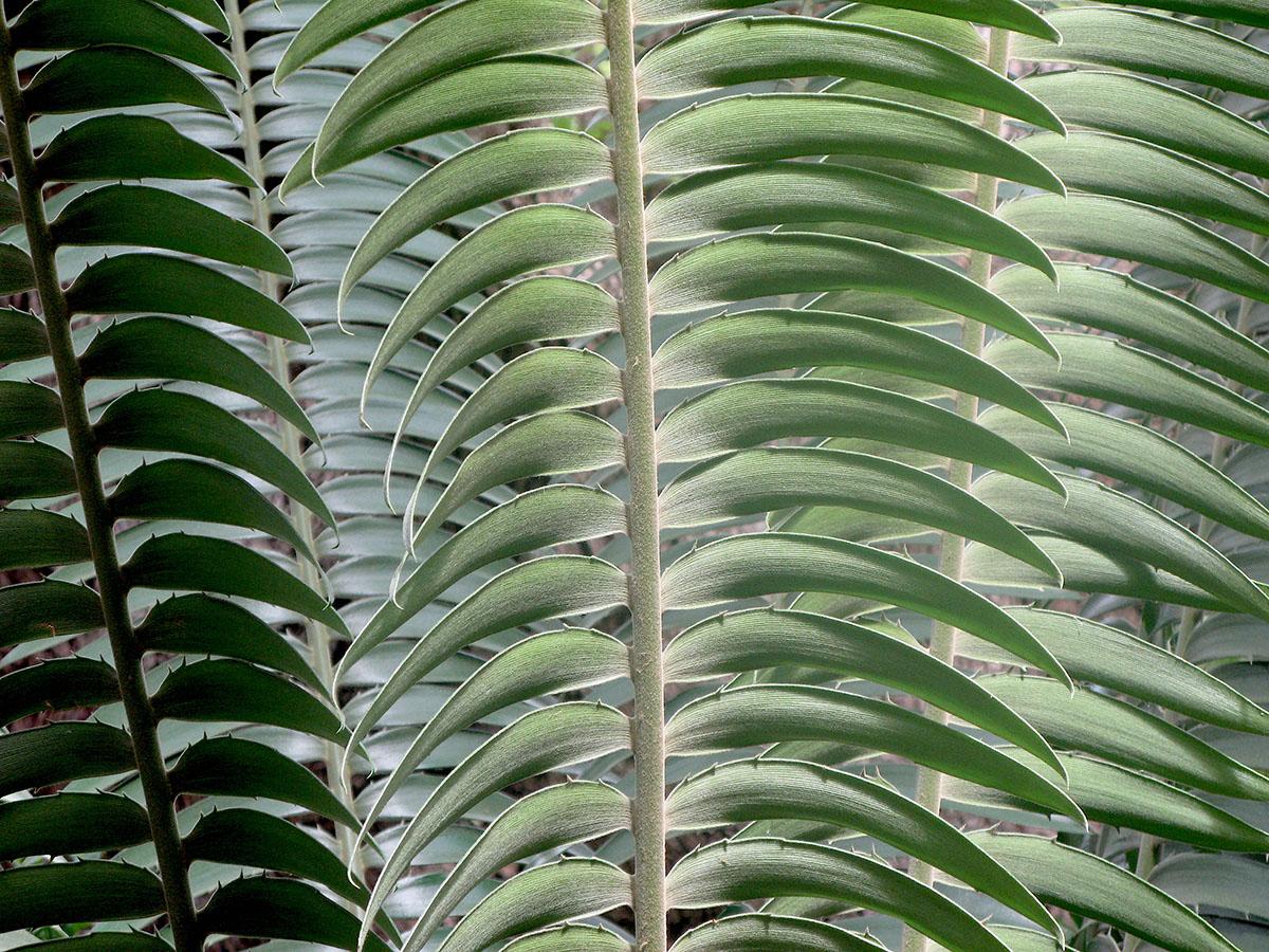 Encephalartos paucidendatus 16