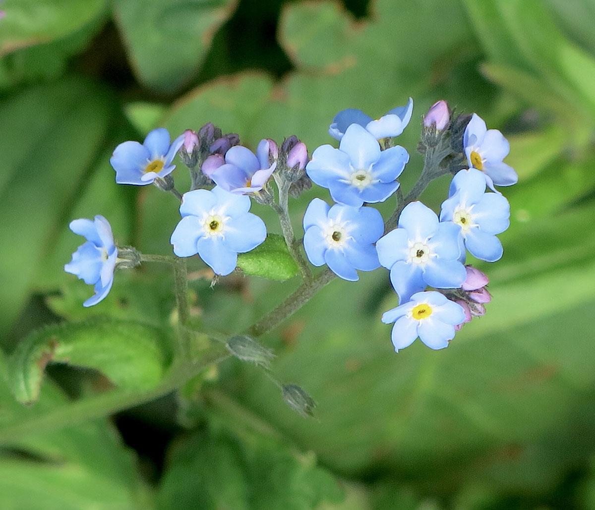 Brunnera macrophylla Jack Frost 31