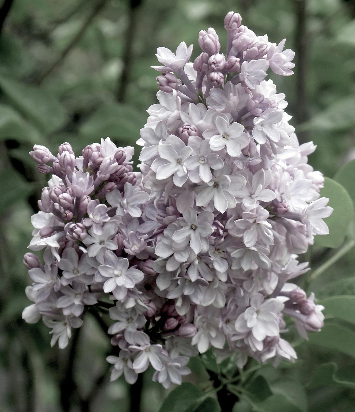 Syringa vulgaris Gaudichaud 3