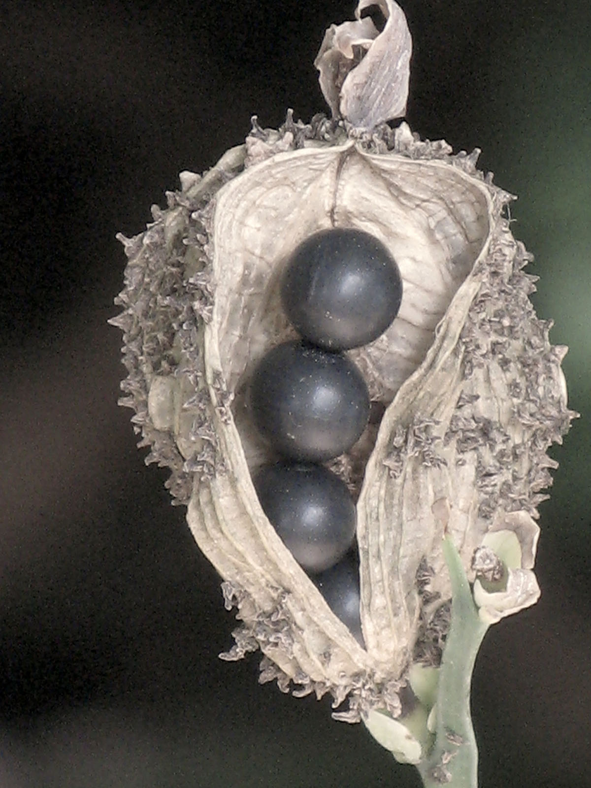 Canna iridiflora 2