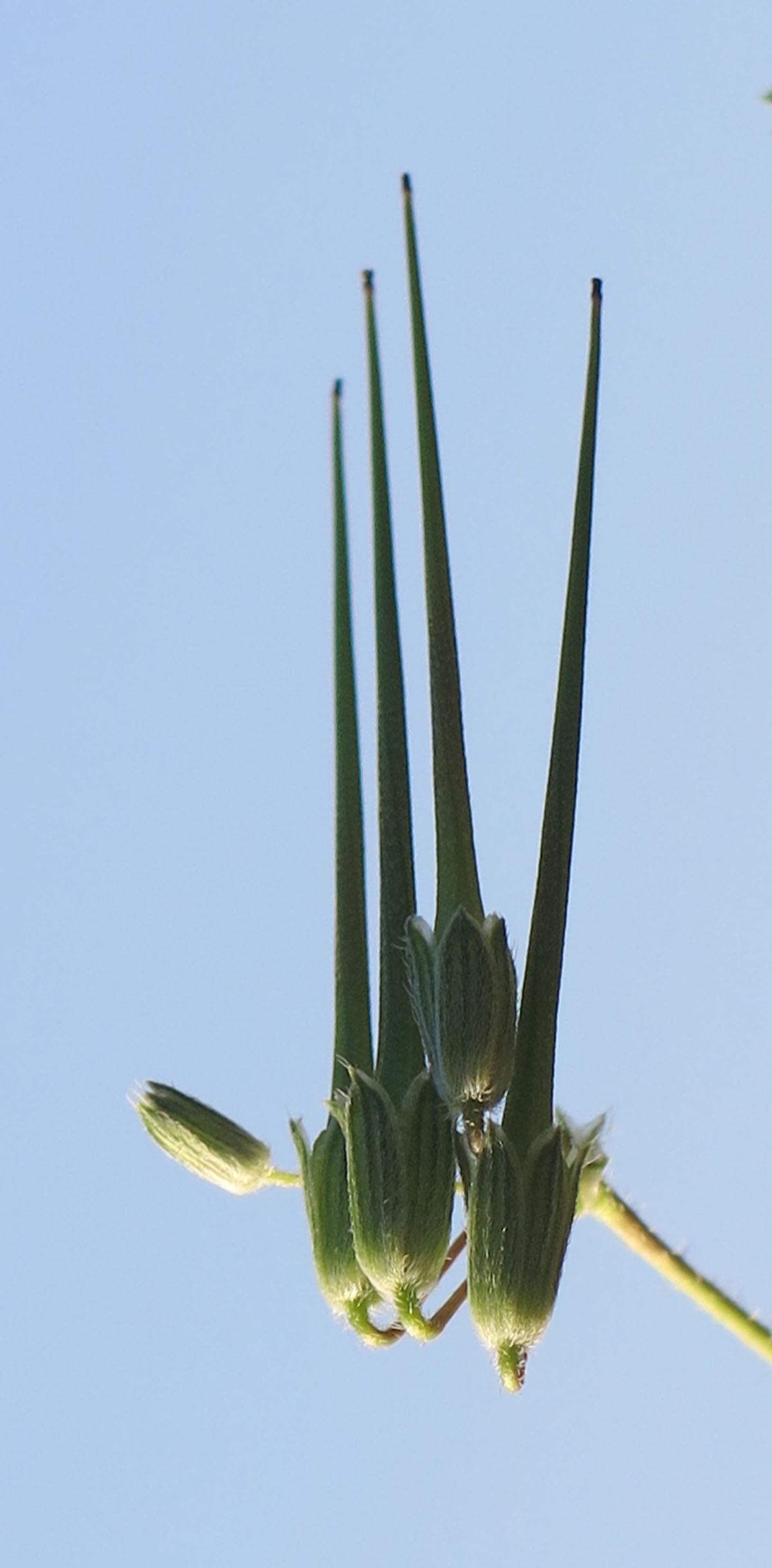 Erodium cicutarium 4