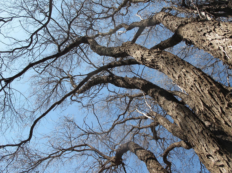 Acacia-caffra-26-