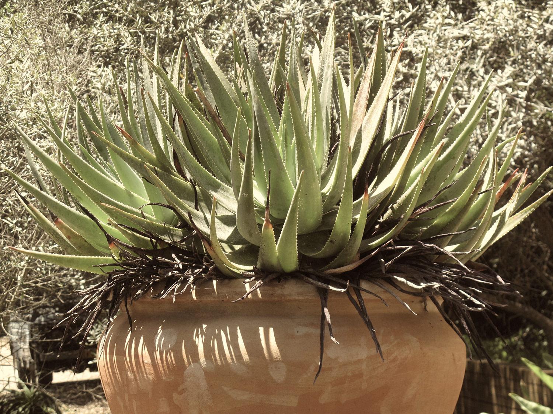 Aloe-succotrina-37-