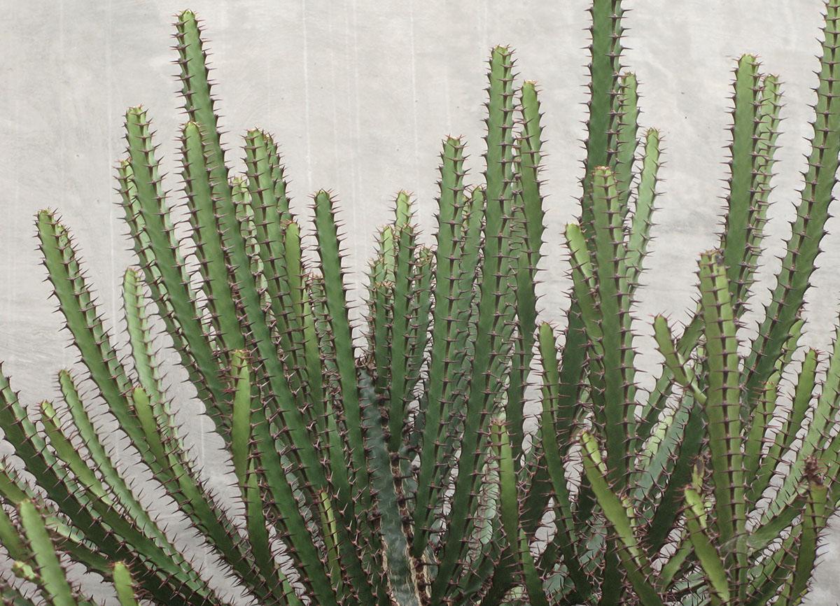 Euphorbia sekukuniensis 6