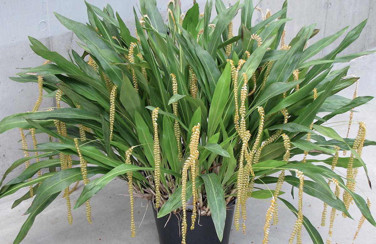 Dendrochilum latifolium 11