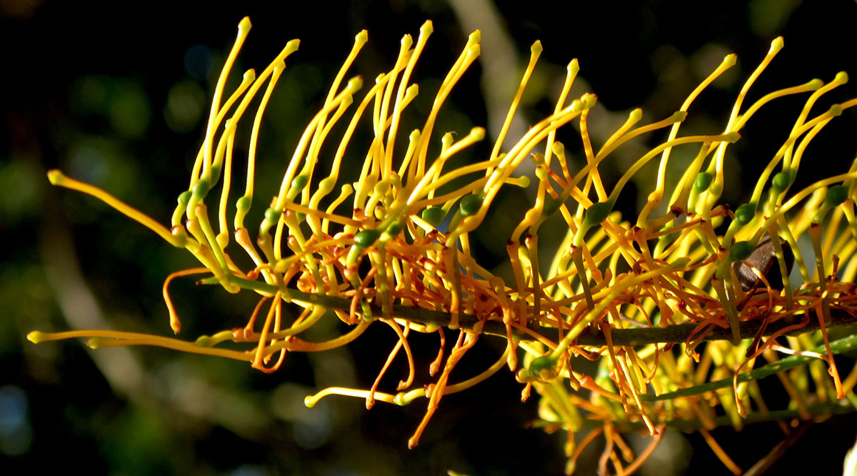 Grevillea robusta 23